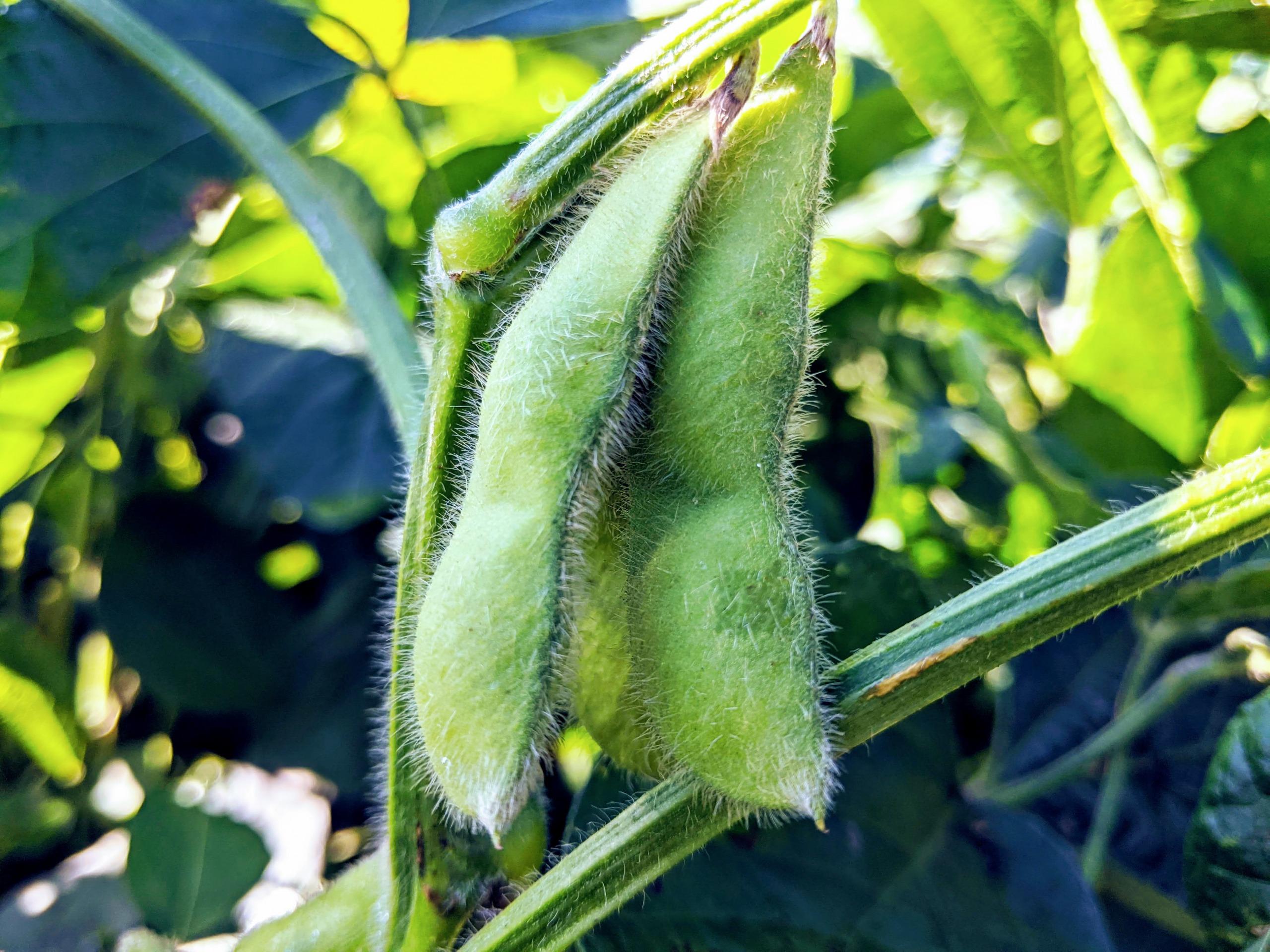 朝どれワイルド枝豆〈きよみどり〉1kg